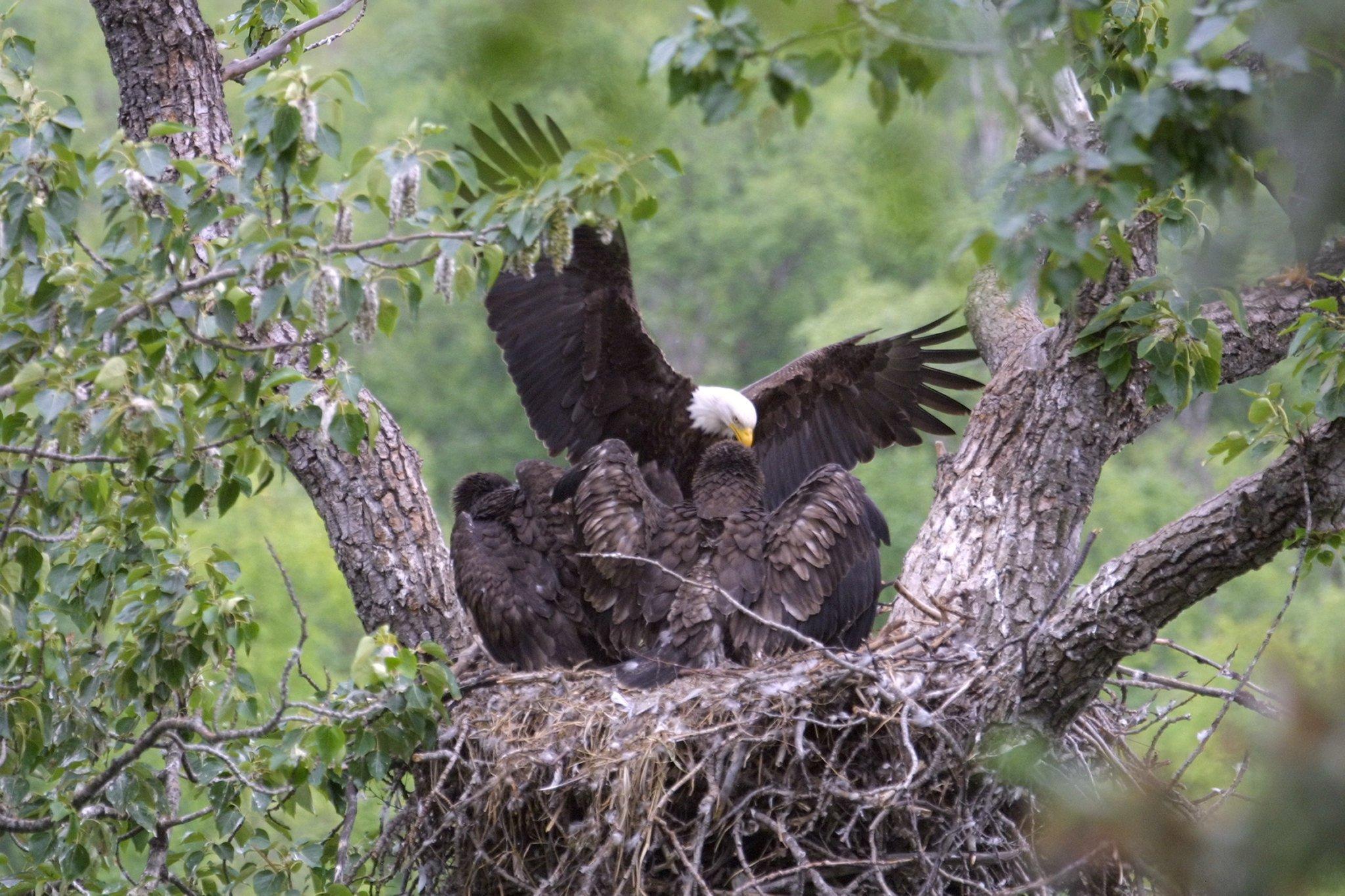 Catalina Bald Eagles
