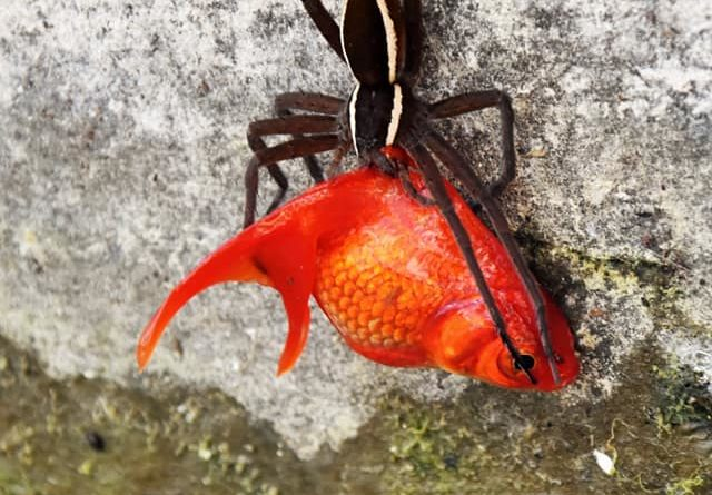Fish eating spider