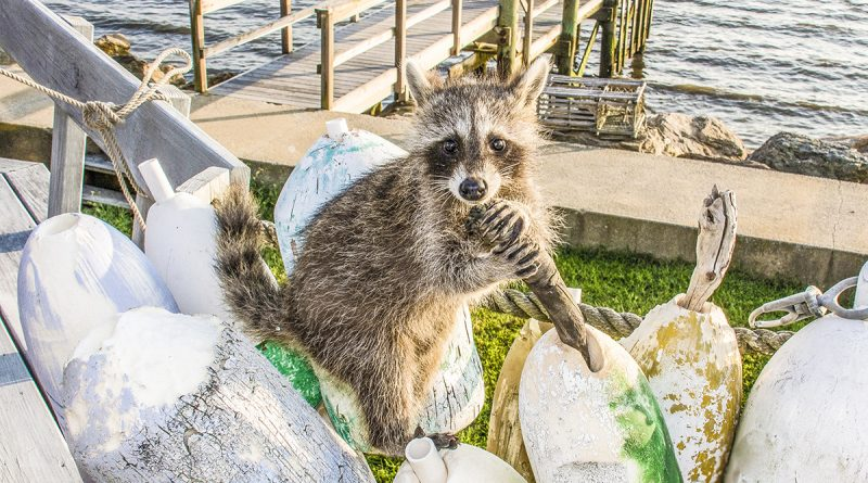 Catalina Island Raccoon