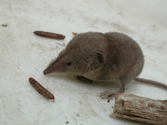 Catalina Island Shrew