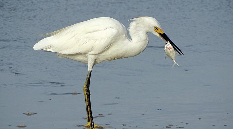 Snowy White Egret eating a fish